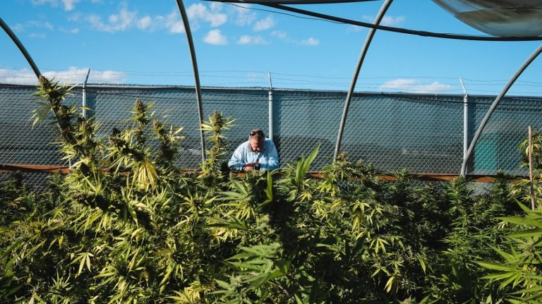 outdoor marijuana cultivation chain link fence with barbed wire